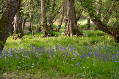 Bluebell Wood at Rushcroft Farm